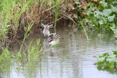 Greater painted snipe family Royalty Free Stock Photography