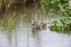 Greater painted snipe family Royalty Free Stock Images