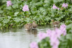 Greater painted snipe family Royalty Free Stock Photos