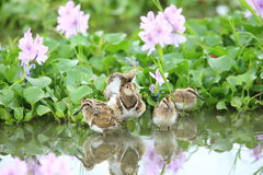 Greater painted snipe family Stock Image