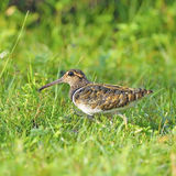 Greater Painted-snipe Royalty Free Stock Image