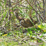 Greater Painted-snipe Royalty Free Stock Photo