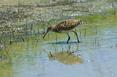Greater Painted-snipe (male) Royalty Free Stock Photos