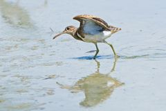 Greater Painted-snipe (male) Stock Photography