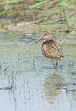 Greater Painted-snipe (male) Royalty Free Stock Photography