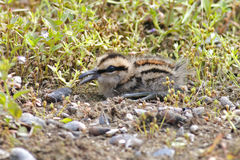 Greater Painted-snipe Rostratula benghalensis Baby Cute Birds of Thailand Stock Photo