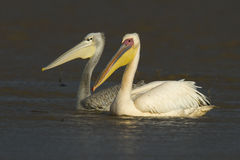 Greater Pelican Pair Stock Photography
