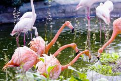 Greater pink flamingo Stock Photo