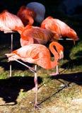Greater pink flamingo - Phoenicopterus ruber roseus Royalty Free Stock Image