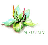 Greater Plantain. Original watercolor illustration Stock Photos