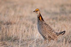 Greater Prairie Chickens stock photography