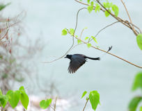 Greater Racket-tailed Drongo Stock Photography