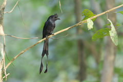 Greater racket-tailed drongo bird in Nepal. Dicrurus paradiseus, Greater racket-tailed drongo bird in Nepal Stock Images