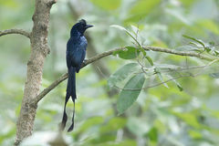 Greater racket-tailed drongo bird in Nepal. Dicrurus paradiseus, Greater racket-tailed drongo bird in Nepal Royalty Free Stock Images