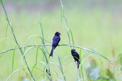 Greater Racket-tailed Drongo Royalty Free Stock Photography