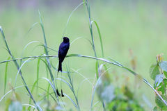 Greater Racket-tailed Drongo Stock Image