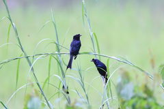 Greater Racket-tailed Drongo Royalty Free Stock Photo