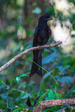 Greater Racket-tailed Drongo standing on a branch in nature Stock Photo