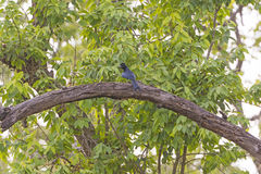 Greater Racket-tailed Drongo in a Tree Stock Photos