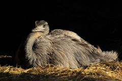 Greater rhea Royalty Free Stock Image