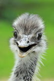 Greater rhea Royalty Free Stock Photo