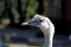 Greater Rhea Royalty Free Stock Photos
