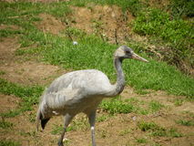Greater Rhea Stock Images