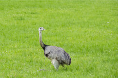 The greater rhea Royalty Free Stock Images