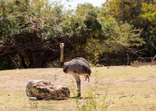 Greater Rhea Americana Nandu bird Royalty Free Stock Photography