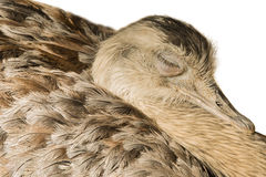 Greater rhea asleep – isolated Stock Images