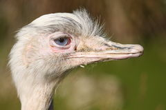Greater Rhea bird Royalty Free Stock Images