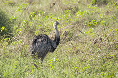 Greater Rhea of Brazil, in Grass and Bushes Stock Photography