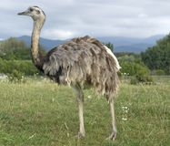 Greater Rhea in cloudy ambiance Royalty Free Stock Photos