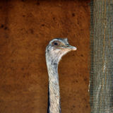 Greater rhea flightless bird Royalty Free Stock Photo