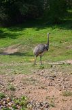 The Greater Rhea Royalty Free Stock Photo