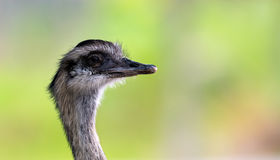 Greater Rhea Stock Photo