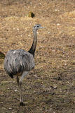 Greater Rhea (Rhea americana) Royalty Free Stock Images