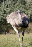 Greater rhea (Rhea americana). A greater rhea is coming royalty free stock image