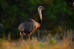 Greater Rhea, Rhea americana, Big bird with fluffy feathers, animal in the nature habitat, evening sun, Brazil Stock Photos