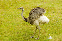 The greater rhea, Rhea americana Royalty Free Stock Image