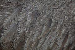 Greater rhea Rhea americana. Plumage texture. Stock Image