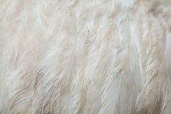 Greater rhea Rhea americana. Plumage texture. Stock Images