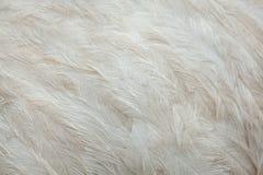 Greater rhea Rhea americana. Plumage texture. Royalty Free Stock Photos