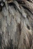 Greater rhea,  Rhea americana Stock Image