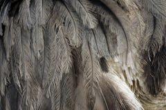 Greater rhea,  Rhea americana Royalty Free Stock Photos