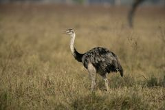 Greater rhea,  Rhea americana Stock Images