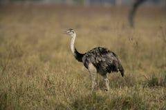 Greater rhea,  Rhea americana Stock Images