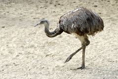 Greater Rhea on sand Royalty Free Stock Photo