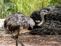 Greater Rhea Strutting Open Beak Stock Photo