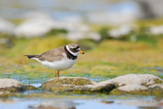Greater Ringed Plover. In an colorful environment Stock Images